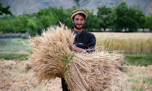 A farmer holds a freshly cut bundle of wheat in the Panjshir valley.