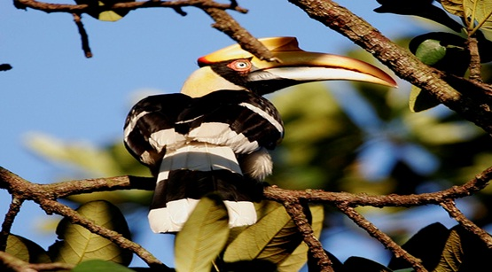 Great hornbill's are among nearly 200 bird species that lives in Ream National Park