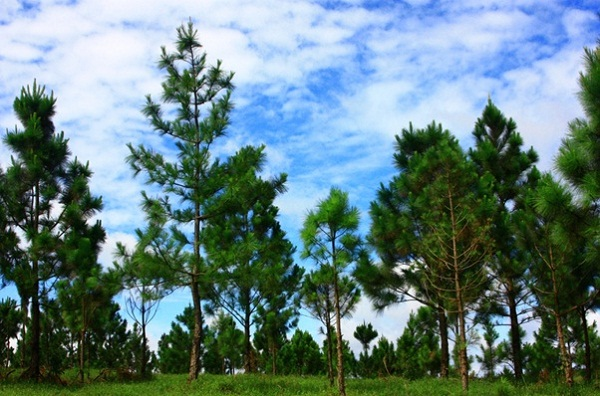 The lush green hills of Mondulkiri covered by green pine trees