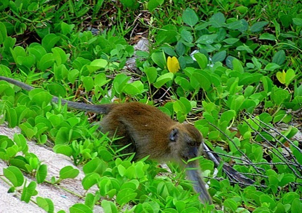 Another macaque rummages through vines at the back of Ao Molae Beach of the Tarutao