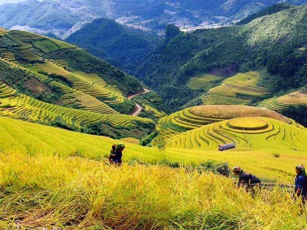 Sapa in spring with a yellow color spreading filelds