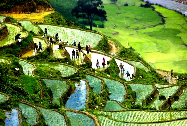 Cultivating on terraced rice fields