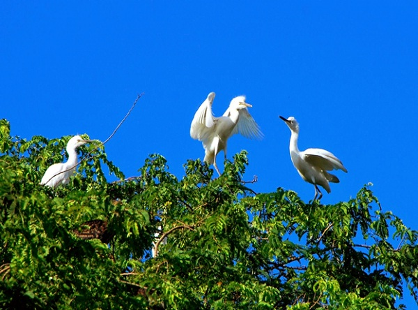 Storks usually perch on tree peaks