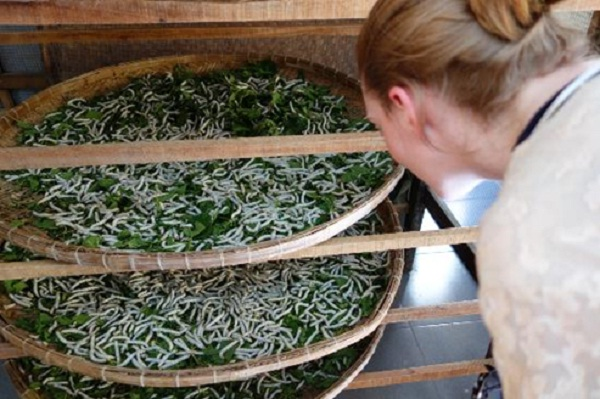 Visit the mulberry garden and see how the silkworms are nutured