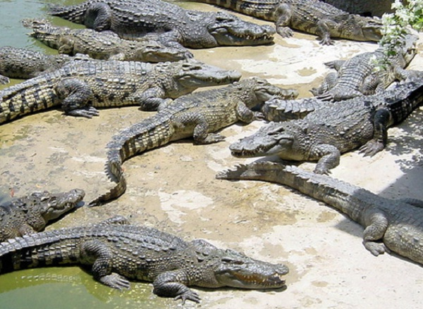 The world's largest crocodile farm with various crocodile species