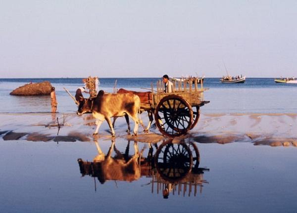 Ox-drawn carts amble along the Ngapali Beach