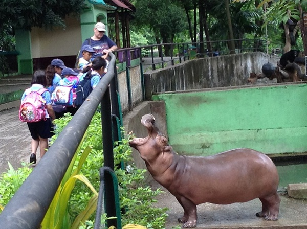 A large Hippo at Yangon Zoo