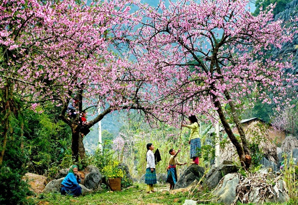 Peach tree in mountainous area in the North of Vietnam