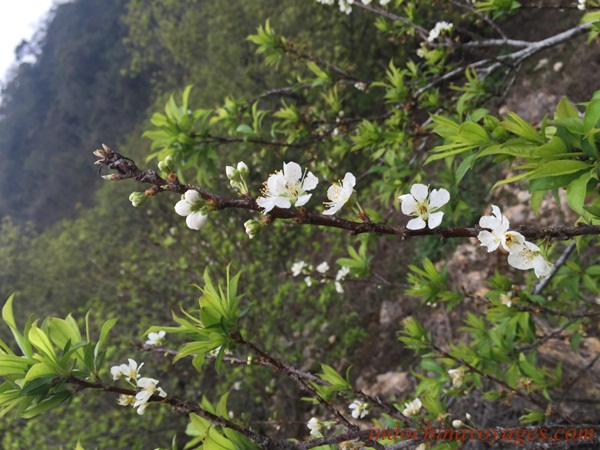 Plum flower blooming everywhere in the northern mountains