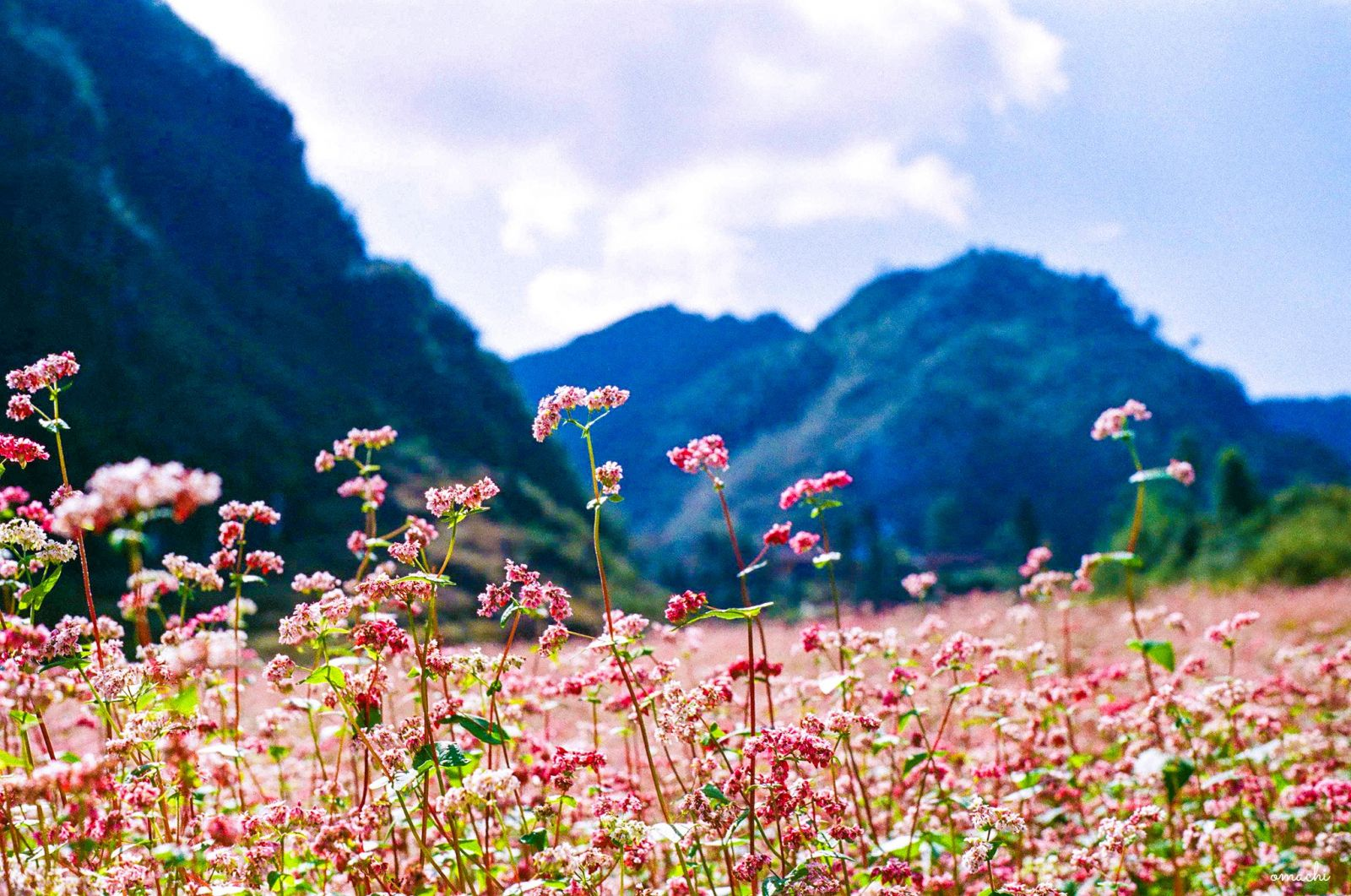 The buckwheat flowers bloom brilliantly beside the rocky mountain