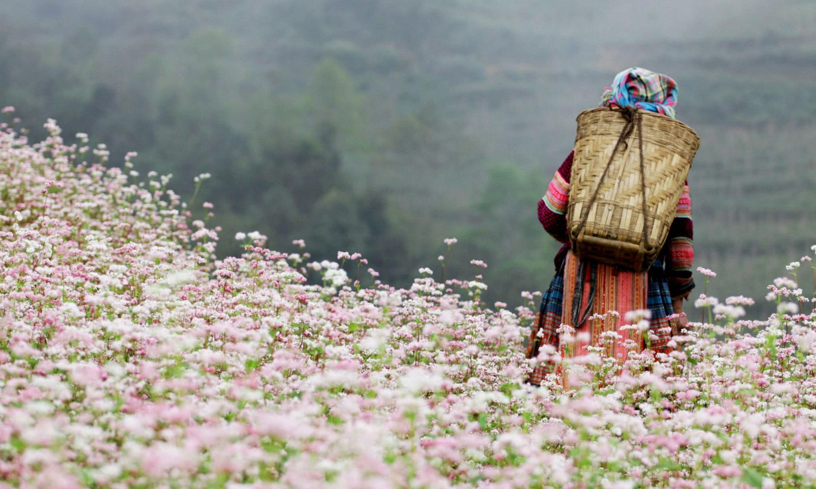 The child goes through the buckwheat flower field to go to school