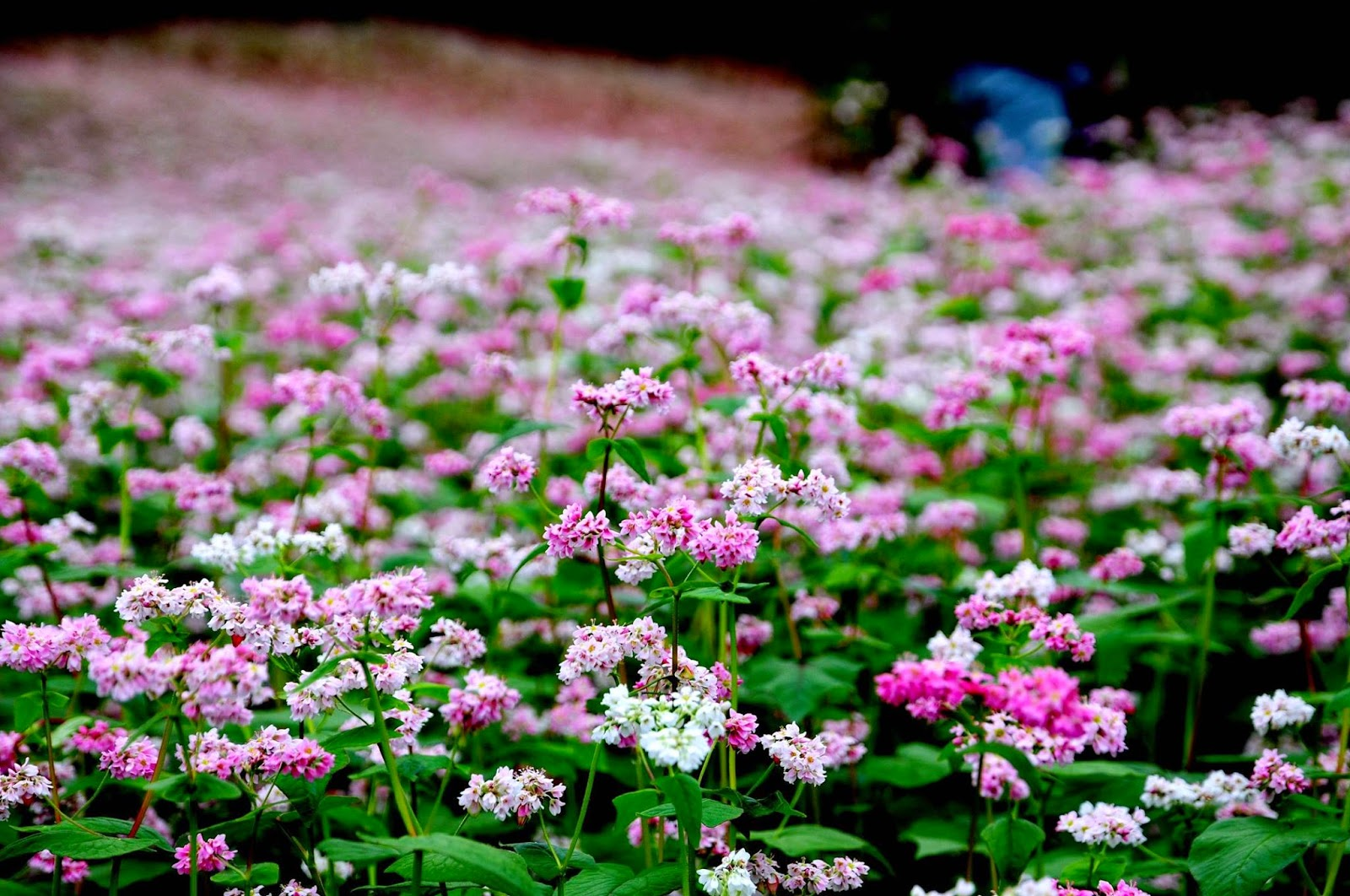 The violet buckwheat flowers contribute to the beauty of Ha Giang in October