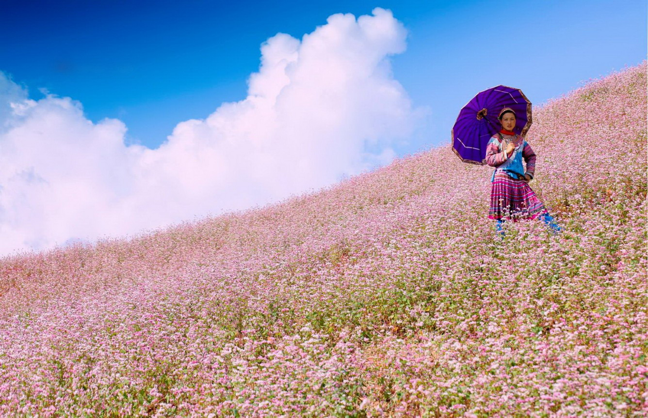 """""""Triangular flowers"""" flowers blooming marvelously in every mountain and slope in Ha Giang"""