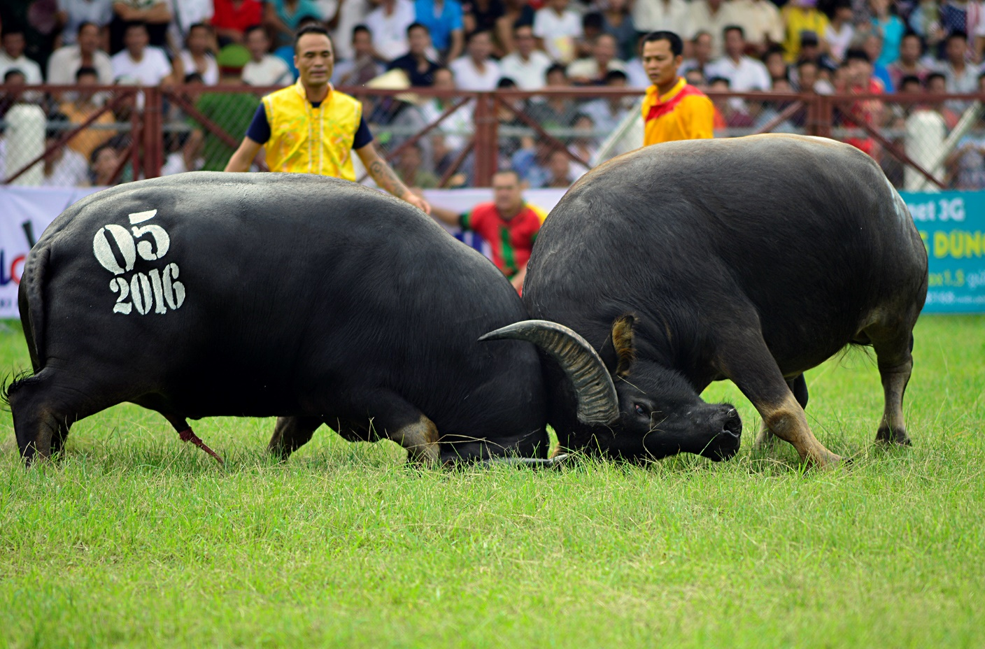 2 buffaloes clasped each other in the match