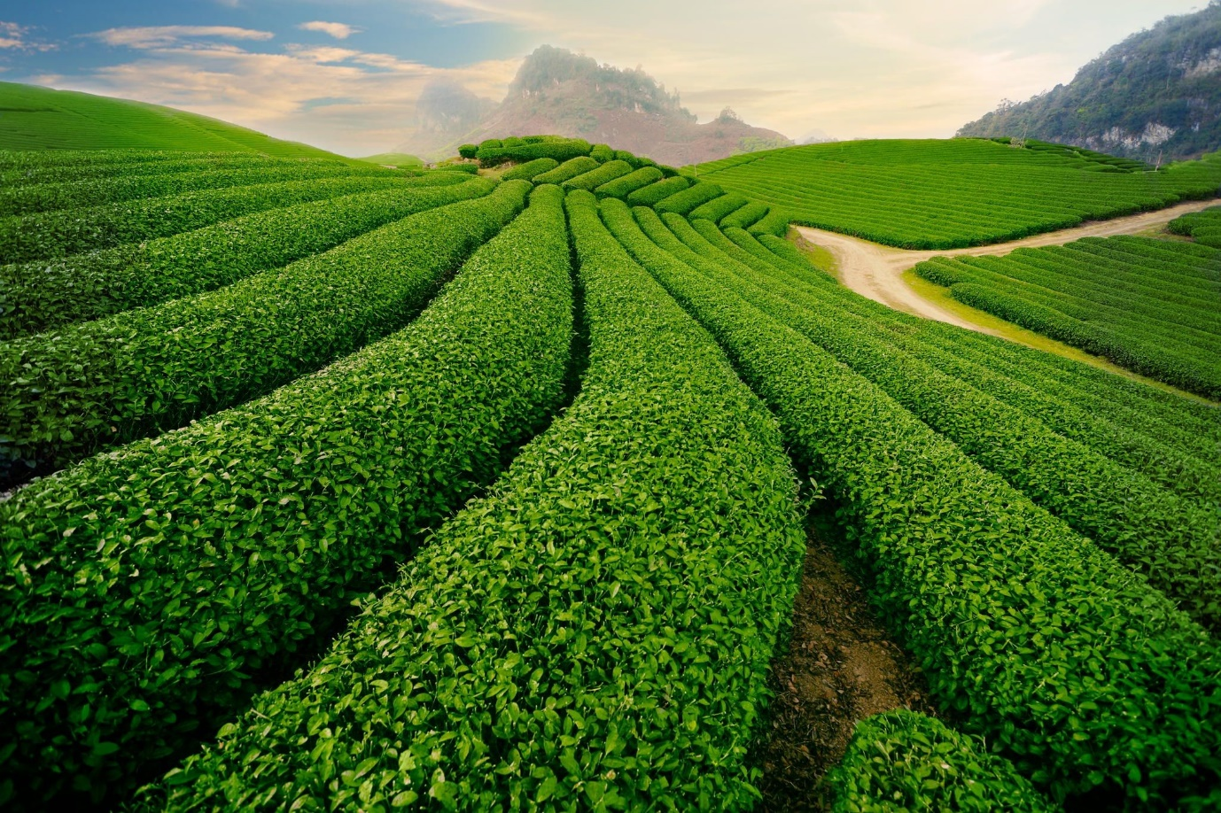 Green Teal Hill in Moc Chau
