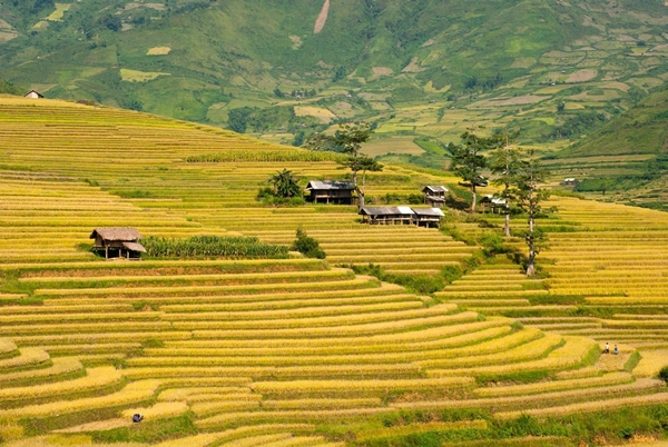 Impressive picture of rice field in Chieng An
