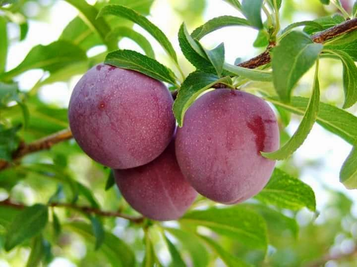 Moc Chau plums are popular for their delicious taste