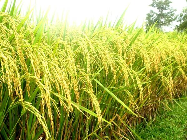 The beauty of Binh Lieu rice field in Quang Ninh
