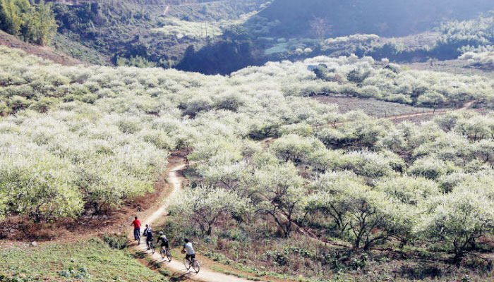 The white plum blossom in Moc Chau