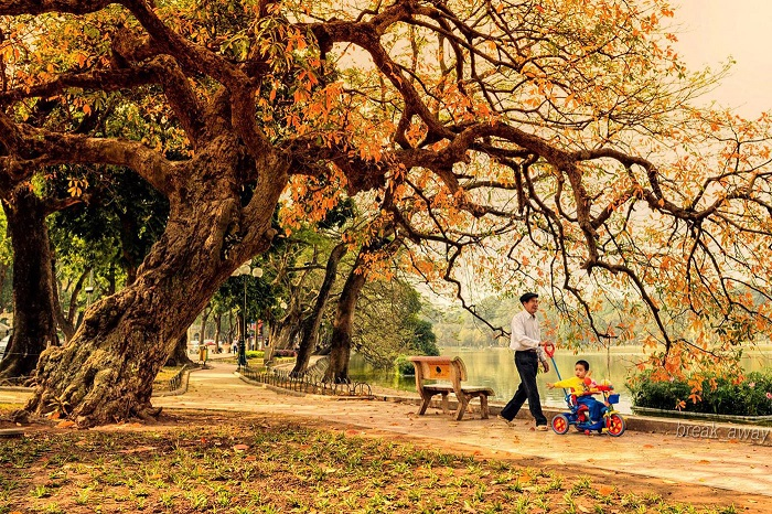 There are full of beautiful golden-yellow leaves on the path of Hanoi