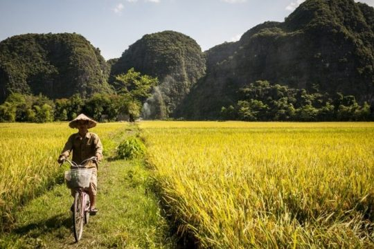 Vietnam Closeup | The Stunning Golden Rice Field In Tam Coc
