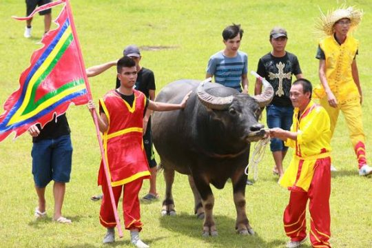 Vietnam water buffalo fighting festival