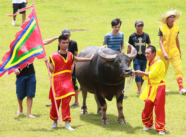 Vietnam water buffalo fighting festival