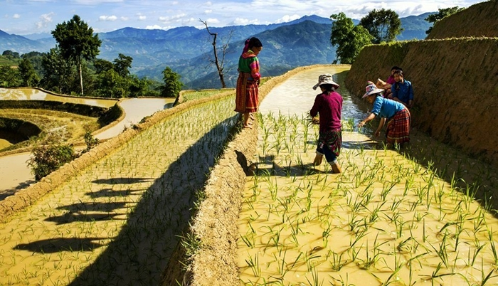 growing rice in Sapa
