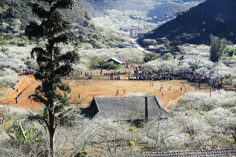 The plum blossom covers the majority of the valley