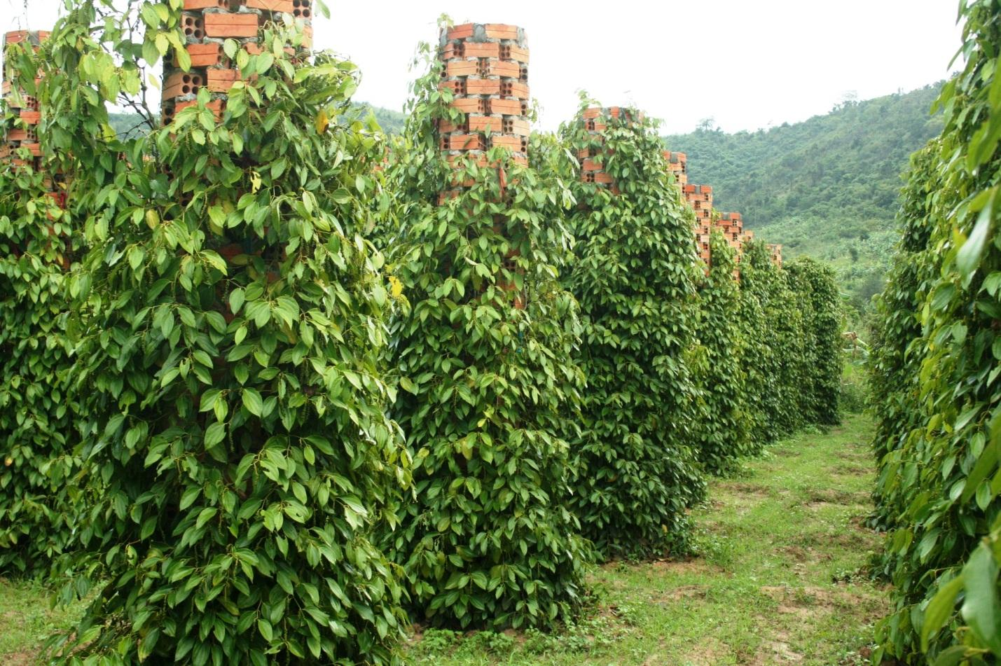 Green pepper farm in Phu Quoc Vietnam