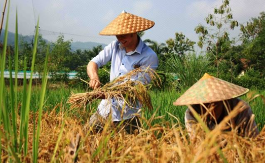 Harvesting rice at the right time is a must