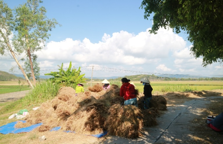 Rice fields in Tuy Hoa, Phu Yen is regarded as the biggest in the Middle of Vietnam
