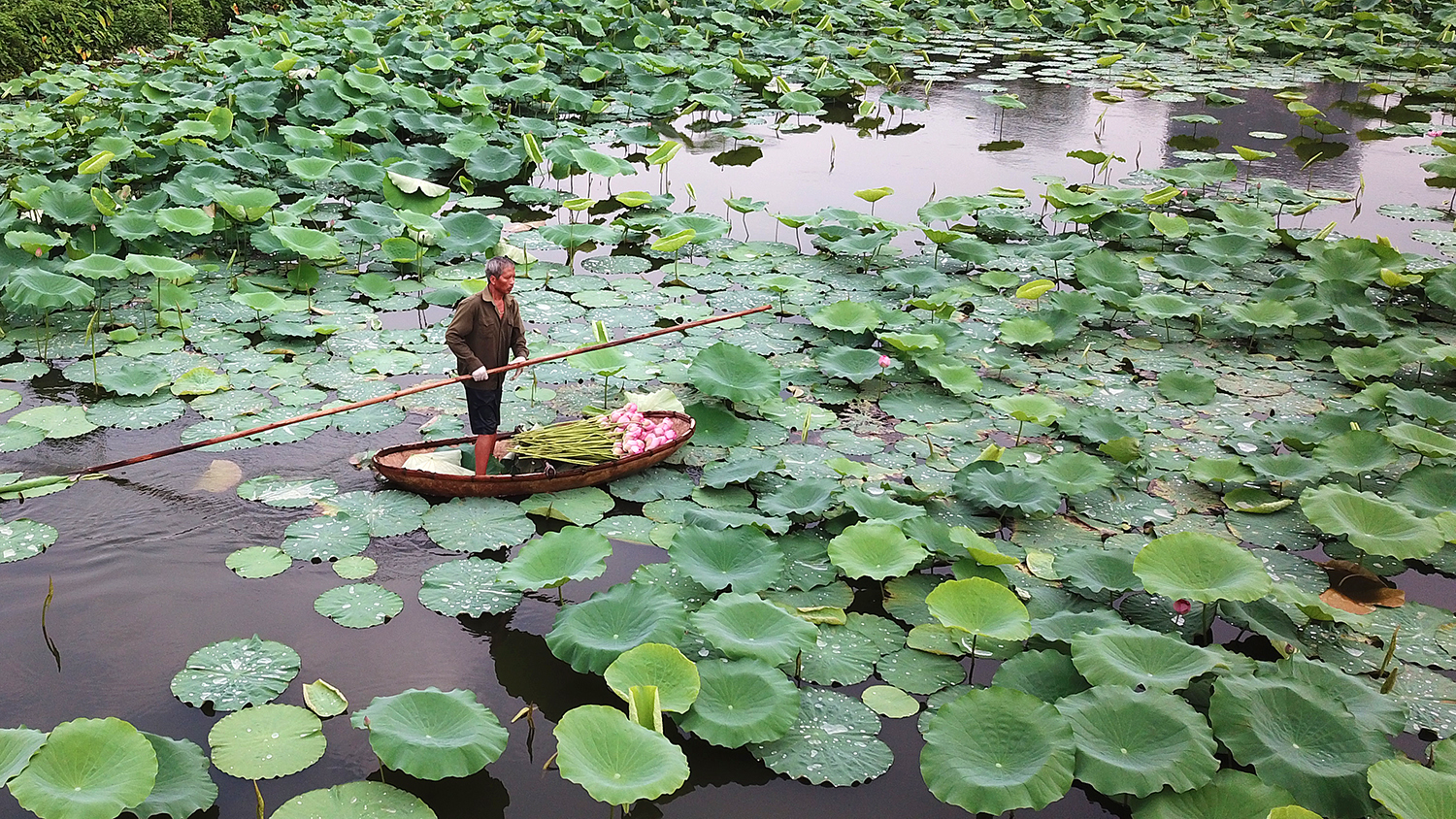The lotus lake in West Lake