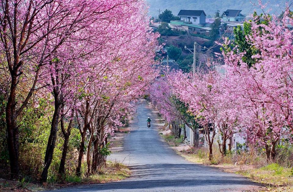 Peach blossom in Dalat
